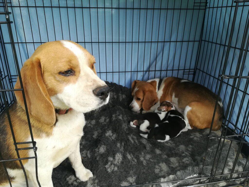 Beagle kutsikad - Estrellest Z pesakond