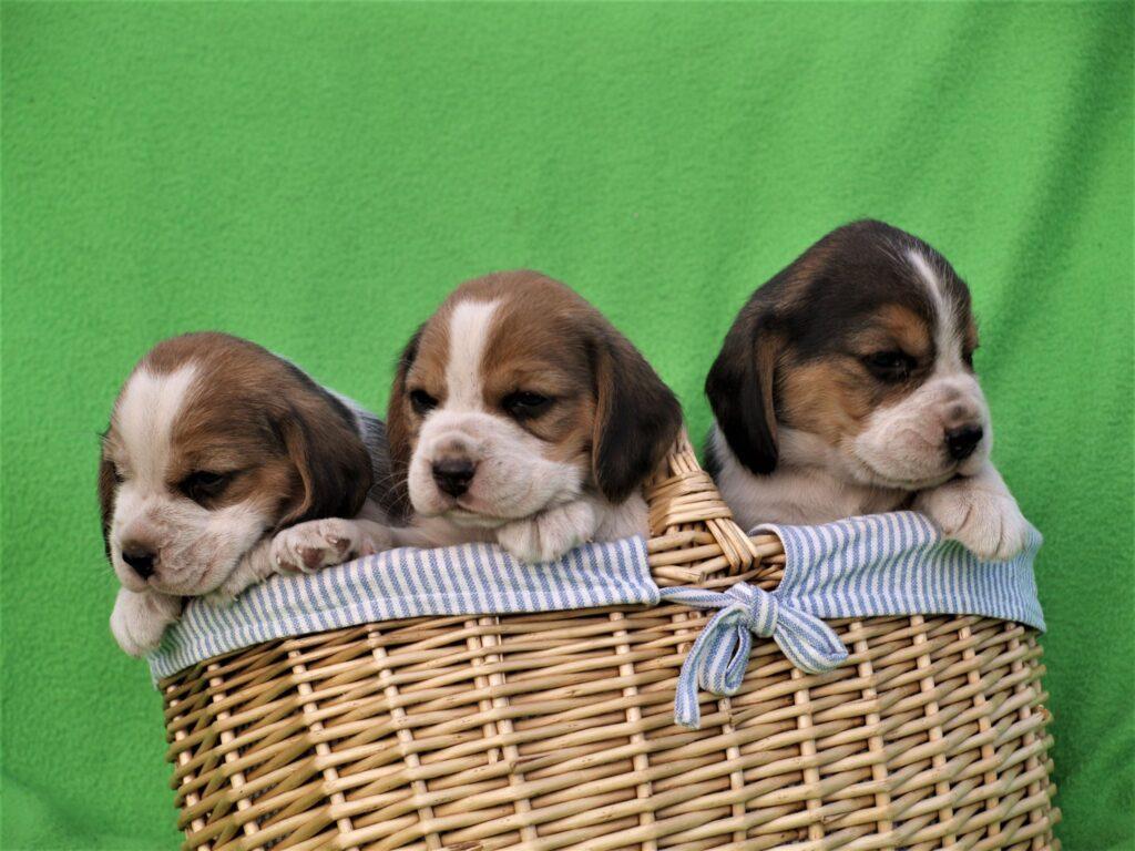 Müüa Beagle kutsikad Estrellest Z pesakond00001