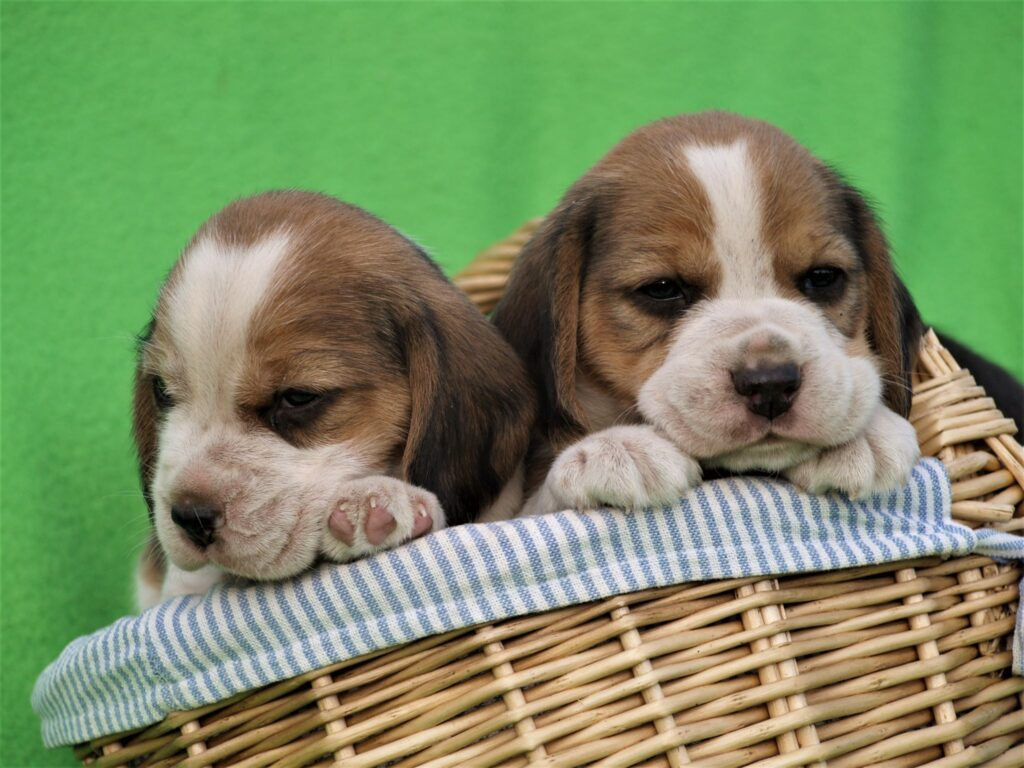 Müüa Beagle kutsikad Estrellest Z pesakond00002