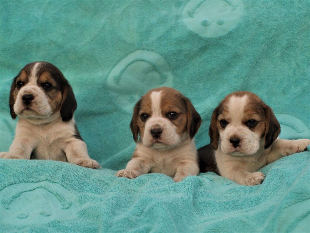 Müüa Beagle kutsikad Estrellest Z pesakond00003