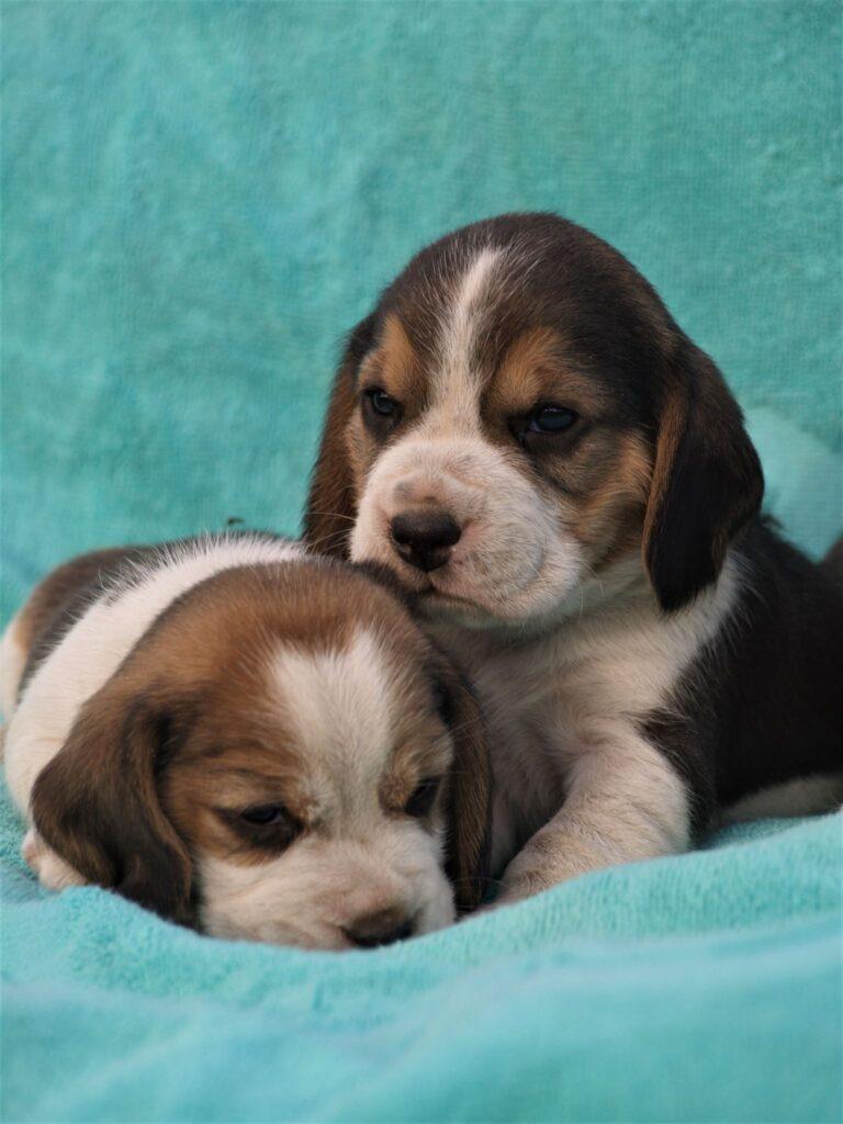Müüa Beagle kutsikad Estrellest Z pesakond00004